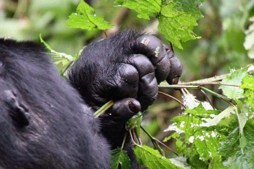 Bwindi Gorilla Trekking Safari via Kigali