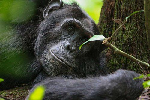 Uganda Primates Safari