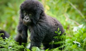 16 Day Virunga Circuit trekking Safari