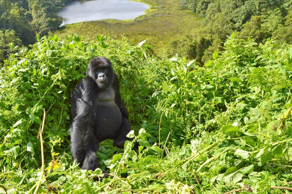 Mountain Gorillas are found in Uganda