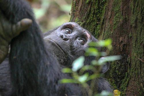 Amazing Uganda Primate Safari Trip
