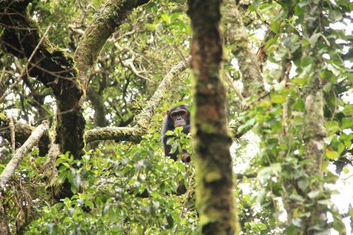 Nyungwe Chimps Tracking