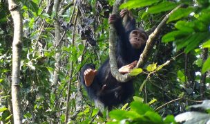 5 Days Nyungwe Chimps Tracking