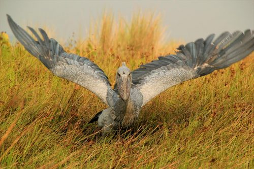 Uganda Birders' Paradise (bird Watching)
