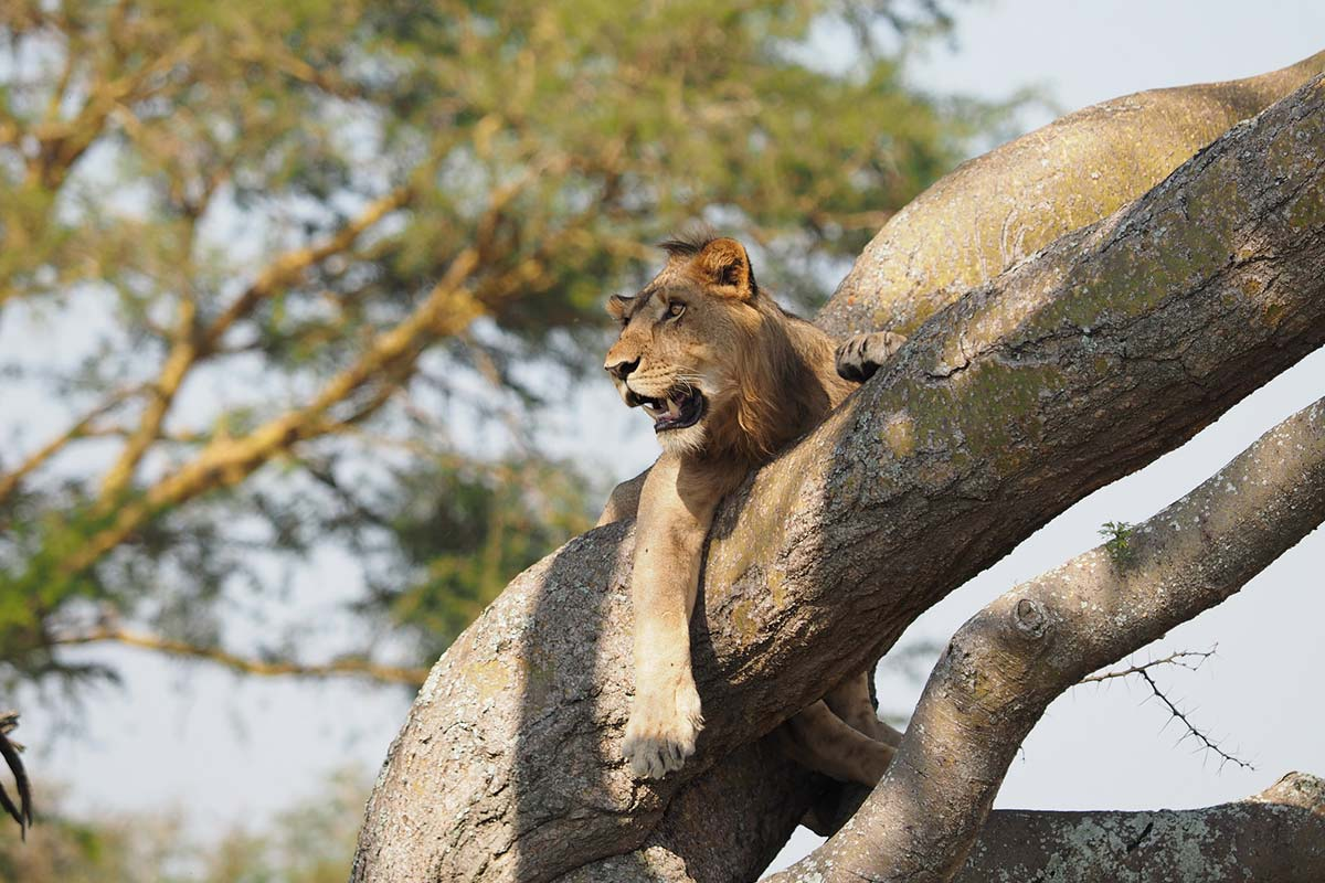 Queen Elizabeth National Park, Ishasha Tree Lions