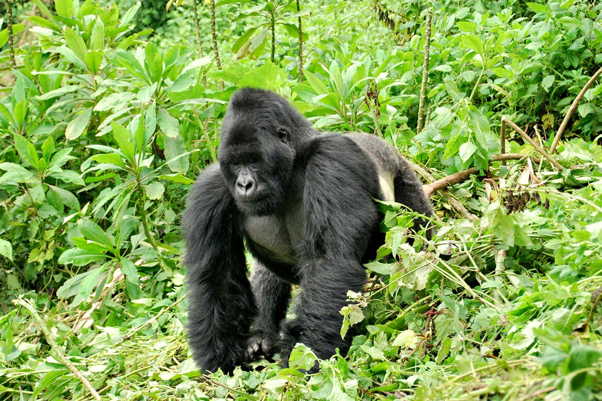 5 Days Gorilla Tracking Adventure Safari by road