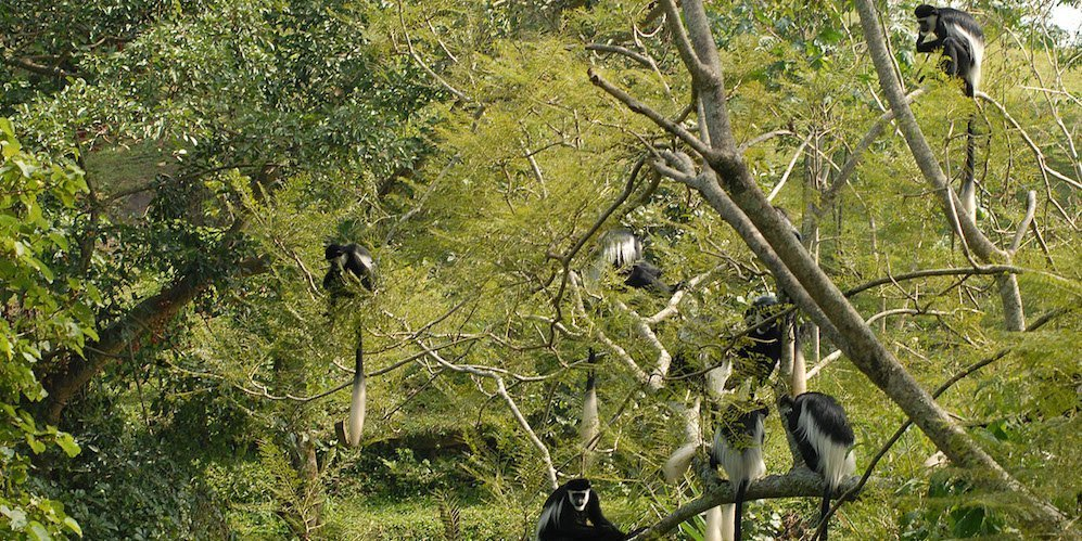 colobus-moneky-queen-elizabeth-national-park