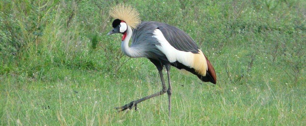 Grey crowned crane, Uganda