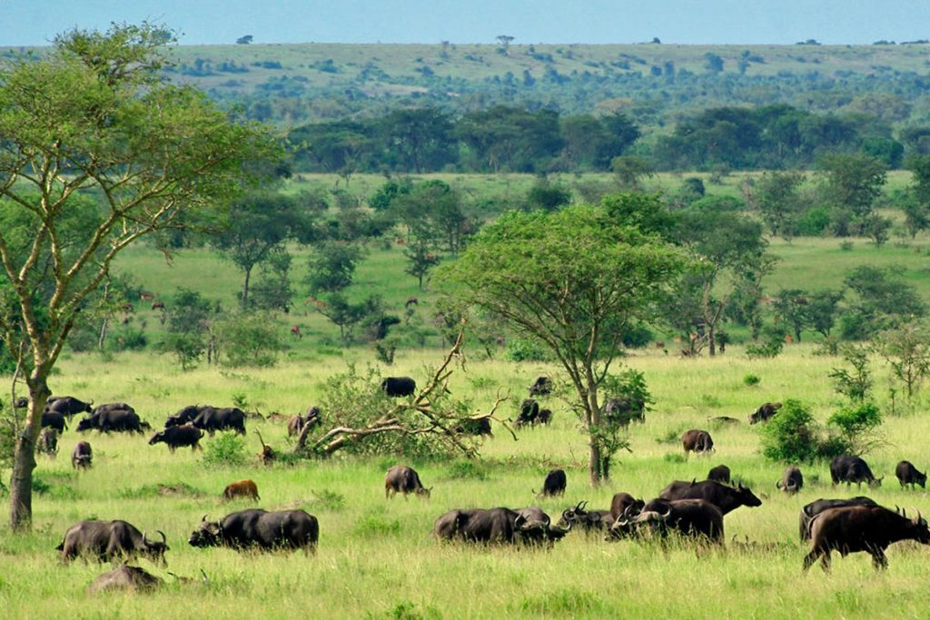 Buffalo spread out in Queen Elizabeth National Park
