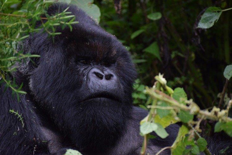 Silverback Gorilla, facts about Rwanda