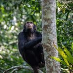 Chimpanzee tracking in Queen Elizabeth National Park Uganda