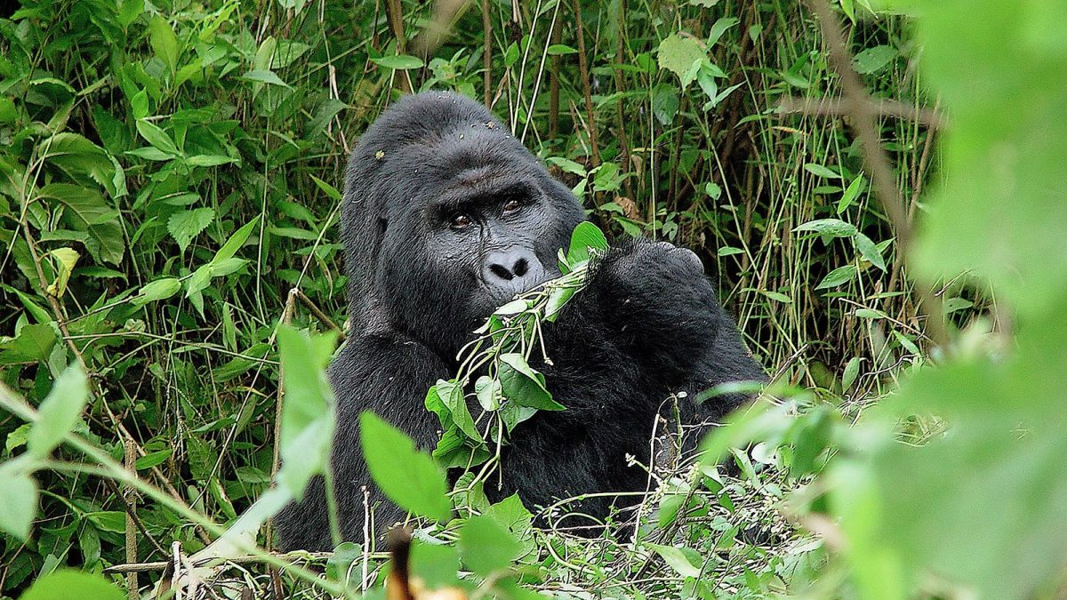Luxury Uganda Gorilla Safari, mountain gorilla tour and permits in Uganda and Rwanda