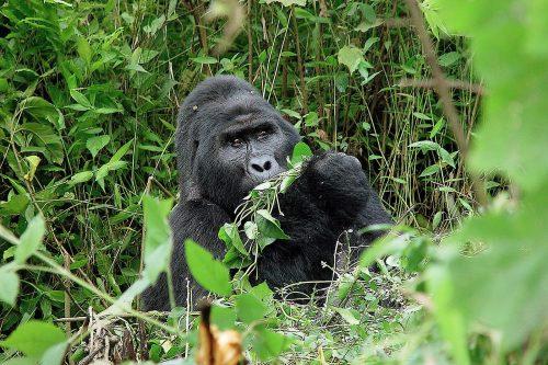 mountain gorilla tour and permits in Uganda and Rwanda