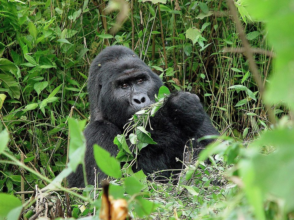 mountain gorilla tour and permits in Uganda and Rwanda