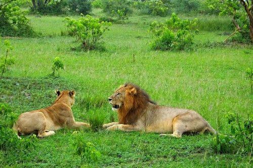 Lions in Murhison Falls