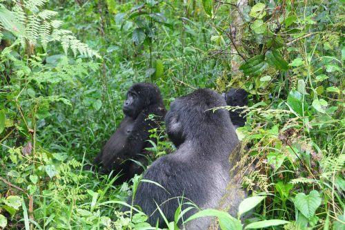 gorilla trekking in Bwindi; uganda gorillas in the wild adventure