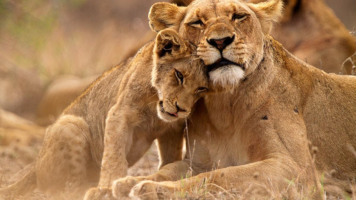 Bets Place To See Lions in Uganda