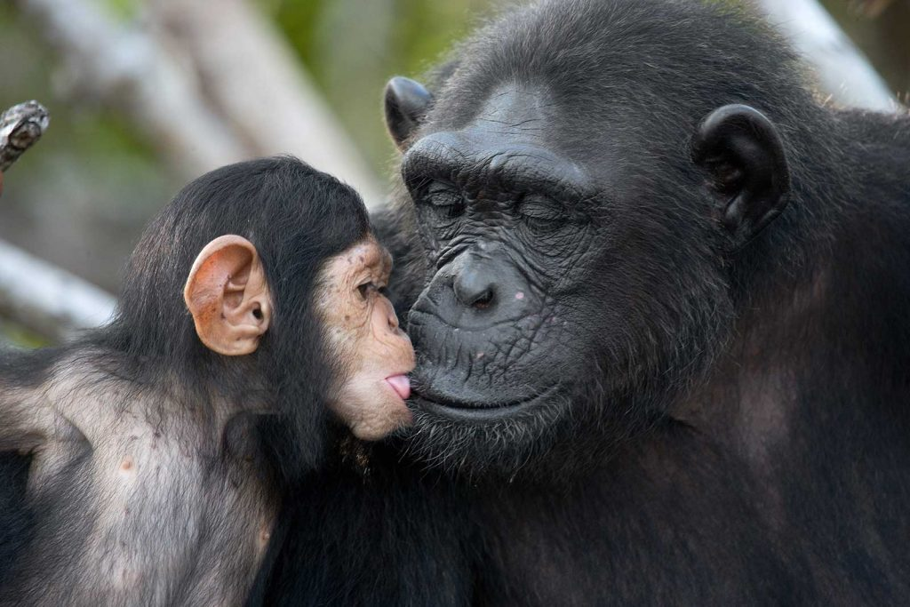 Uganda primates safari - chimp mother and child moment