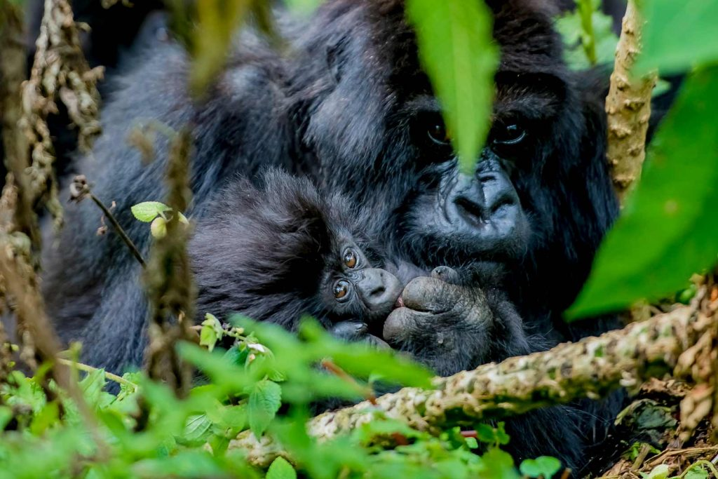 Gorilla baby and mother, increase in gorilla population
