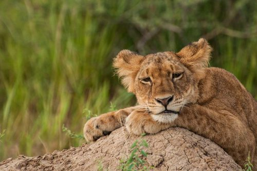 Murchison Falls Cub