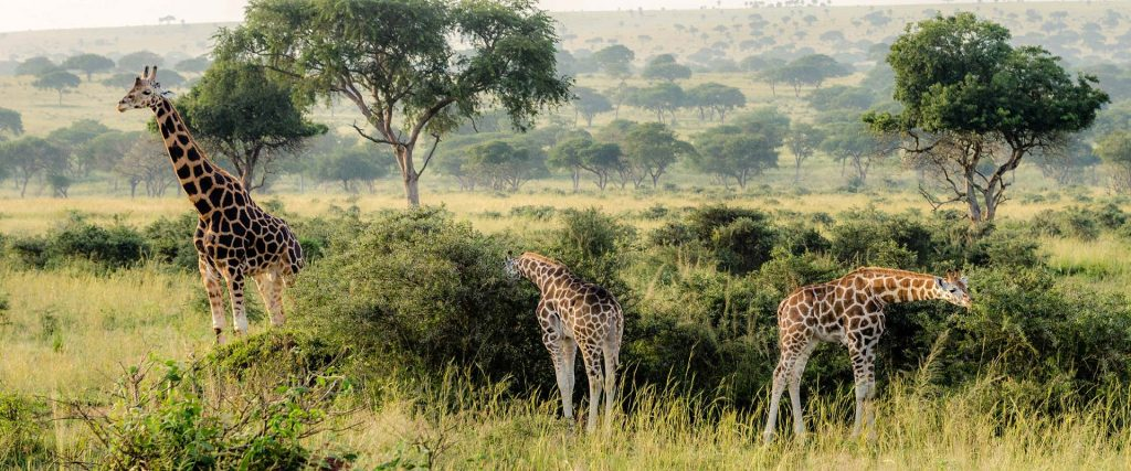 Murchison is one of the few places in Uganda to see the endangered Rothschild's Giraffe.