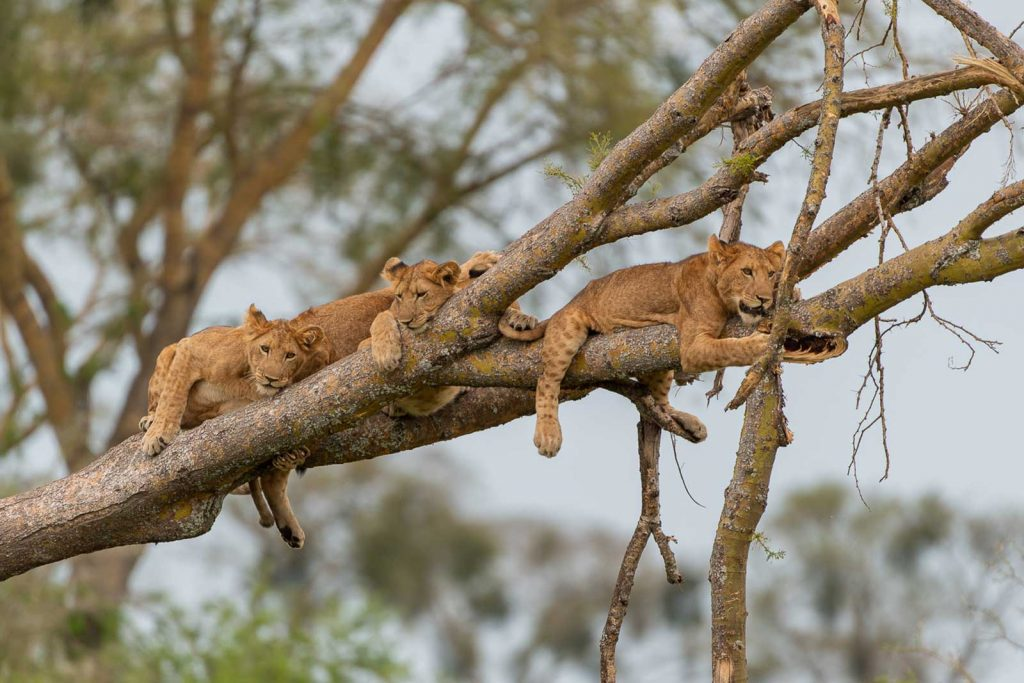 tree lions in QENP Uganda the pearl of africa