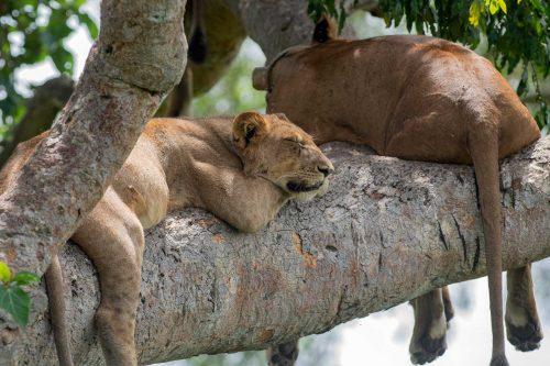 queen elizabeth np uganda tree lions