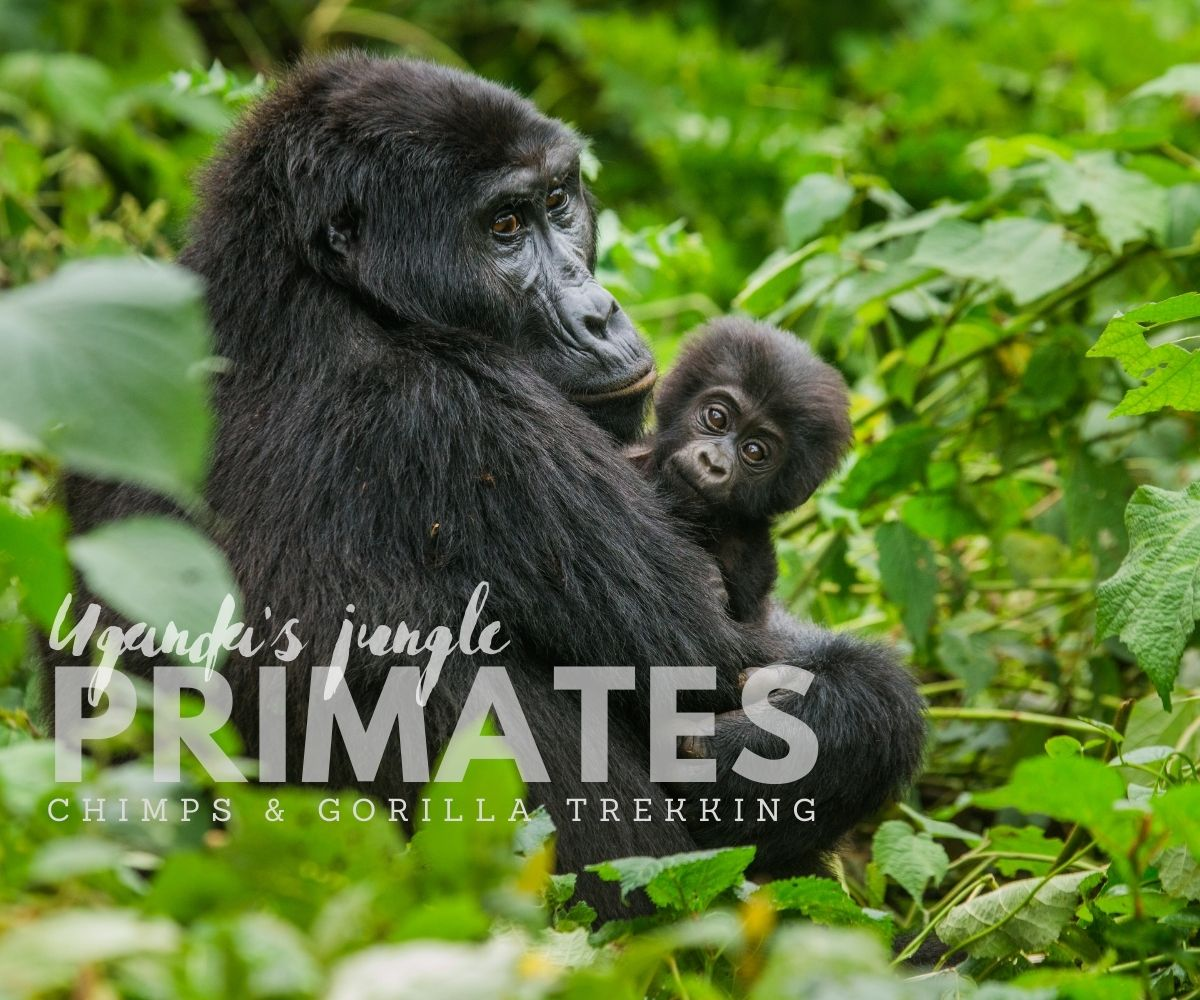 Gorilla trekking, scheduled small group safari  trip with set departures