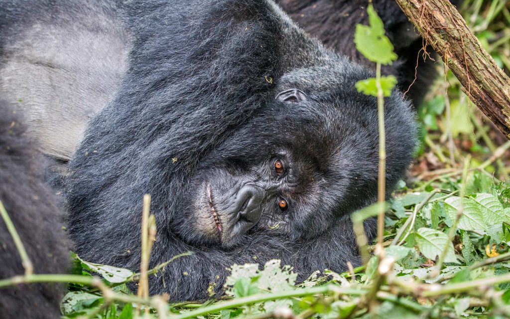 Nap time. Gorilla trips to Uganda ideal during dry season. Best time for a trip to Uganda