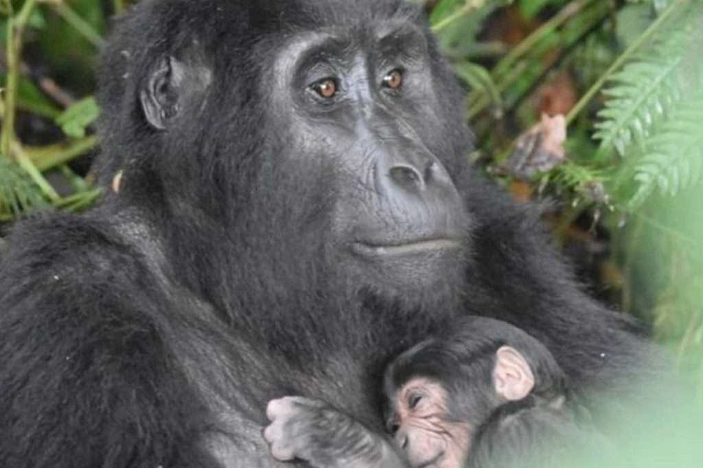 The Uganda Gorilla Baby Boom and the spike in gorilla population
