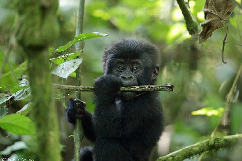 Gorilla Trekking, Uganda or Rwanda