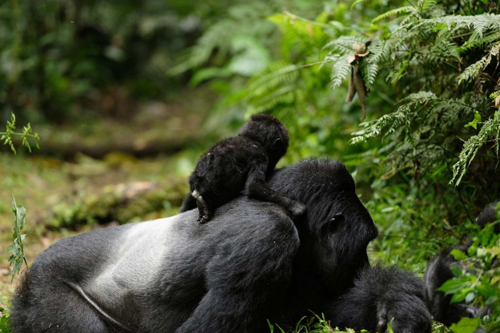 Gorilla baby boom in Uganda's Bwindi Impenetrable Forest