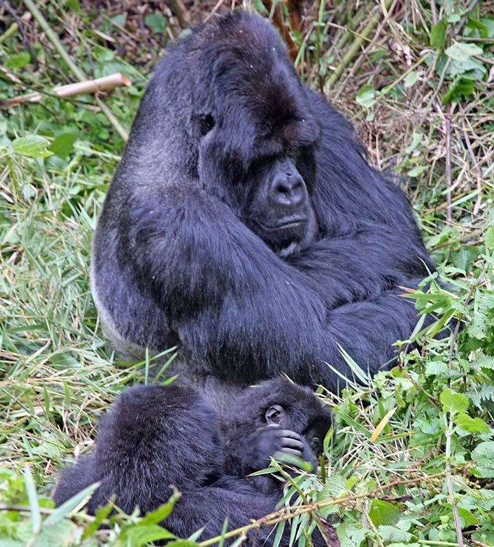 Mountain Gorillas in Uganda or Rwanda