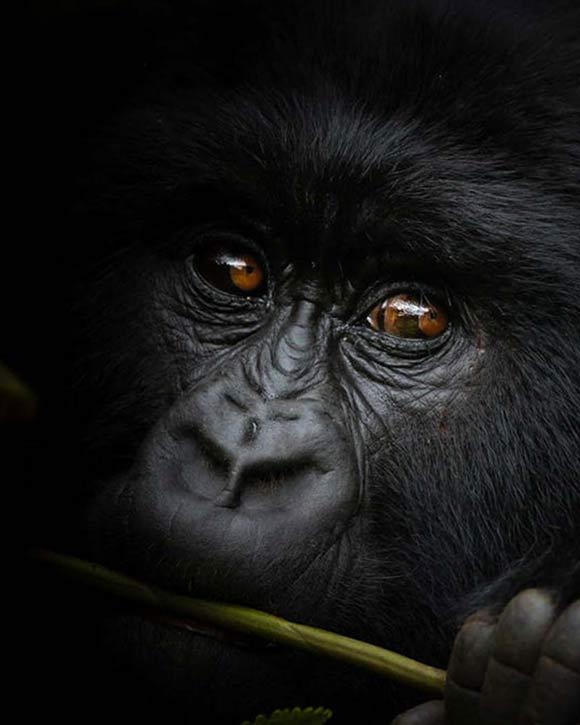 Mountain Gorilla Trekking in Uganda and Rwanda