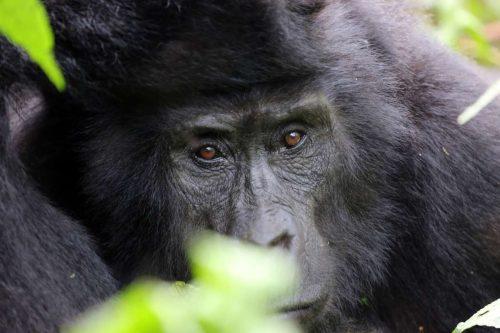 Informationa About Gorilla Trekking in Uganda
